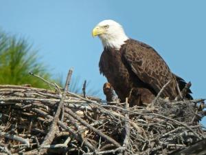Bald-Eagle-Nesting